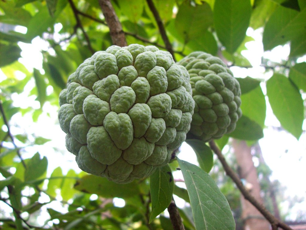 10 unusual fruits you've probably never tried before_sweetsop