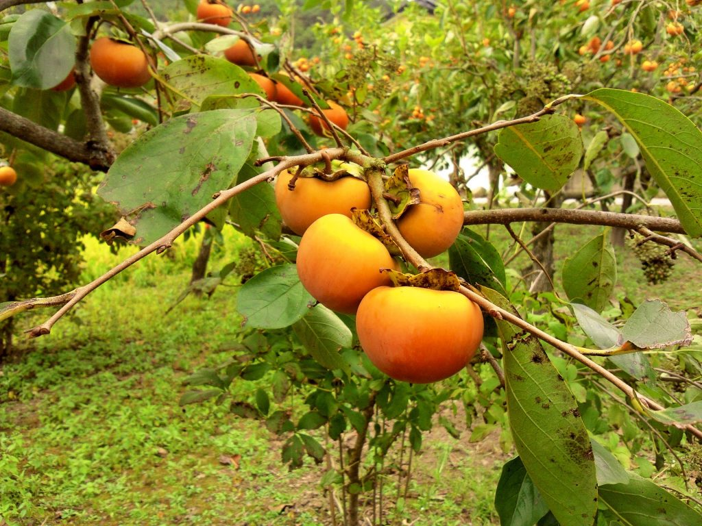 November produce What's in season - persimmon